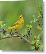 Yellow Warbler Male Perched On Elbow Metal Print