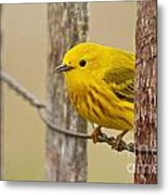 Yellow Warbler Pictures 90 Metal Print