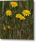 Yellow Wild Flowers Along The Chehalis Trail Metal Print