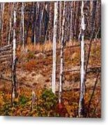 Yellowstone Aspens Metal Print