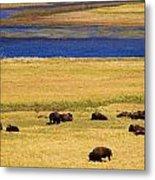 Yellowstone Bison Herd Metal Print