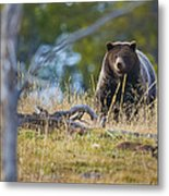 Yellowstone Grizzly Coming Over Hill Metal Print