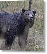 Yellowstone Grizzly Metal Print