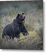 Yellowstone Grizzly On The Lookout Metal Print