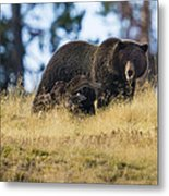 Yellowstone Grizzly Showing Teeth Metal Print