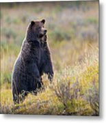 Yellowstone Grizzly Standing - 1 Metal Print