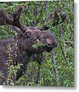Yellowstone Munching Moose Metal Print