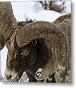 Yellowstone Ram Metal Print by David Yack