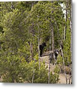Yellowstone Wolves Metal Print
