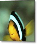 Yellowtail Anemonefish Metal Print