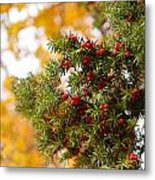 Taxus Baccata Or Yew Red Fruits On Twig  Metal Print