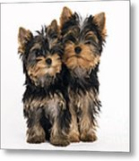 Yorkie Puppies Metal Print