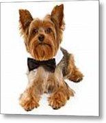Yorkshire Terrier Dog With Black Tie Metal Print