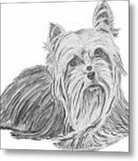 Yorkshire Terrier Drawing Metal Print by Catherine Roberts