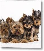 Yorkshire Terriers Metal Print