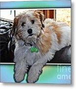 Yoshi Havanese Puppy Metal Print by Barbara Griffin