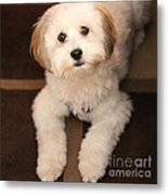 Yoshi Is One Today - Havanese Puppy Metal Print