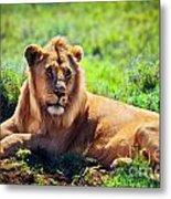 Young Adult Male Lion On Savanna. Safari In Serengeti. Tanzania Metal Print