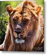Young Adult Male Lion Portrait. Safari In Serengeti Metal Print