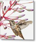 Young Allen's Hummingbird Metal Print