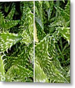 Young Aloe In Stereo Metal Print