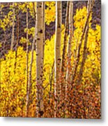 Young And Old Aspens Metal Print