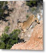 Young Auodad Sheep Descending The Canyon Metal Print