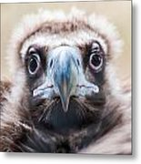 Young Baby Vulture Raptor Bird Metal Print