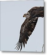 Young Bald Eagle Launches Into The Air Metal Print