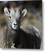 Young Bighorn Sheep Metal Print