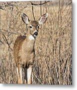 Young Black-tailed Deer Metal Print