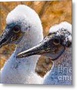 Young Blue Footed Booby Metal Print