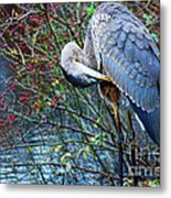 Young Blue Heron Preening Metal Print
