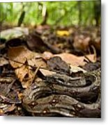 Young Boa Constrictor Metal Print