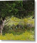 Young Bucks In The Texas Hill Country Metal Print
