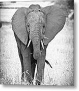 Young Bull Elephant Metal Print