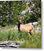 Young Bull Elk - Yellowstone National Park - Wyoming Metal Print