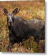Young Bull Moose Being Aggressive Metal Print