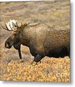 Young Bull Moose Metal Print