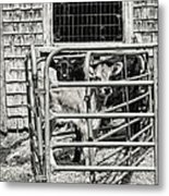 Young Cows In Pen Near Barn Maine Photograph Metal Print