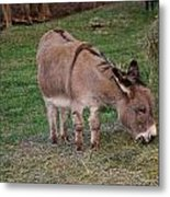 Young Donkey Eating Metal Print