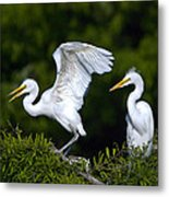 Young Egret Spreading His Wings Metal Print