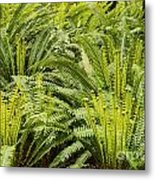 Young Fiddleheads Metal Print