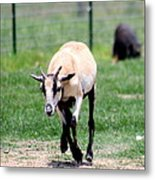 Young Goat Metal Print