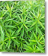 Young Goldenrod Before Blossoms Metal Print