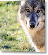 Young Gray Wolf In Light Metal Print