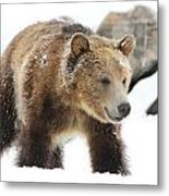 Young Grizzly Bear Metal Print