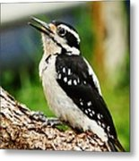 Young Hairy Woodpecker Metal Print