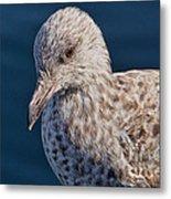 Young Herring Gull Metal Print