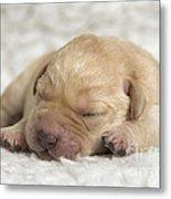 Young Labrador Puppy Metal Print